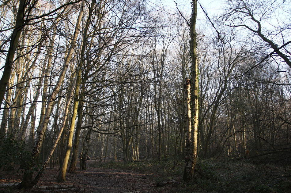 Beauty In Nature Day Forest Growth Lush - Description Nature No People Outdoors Shafts Of Sunlight Sky Sun Through Trees Surrey Countryside Tranquility Tree Winter