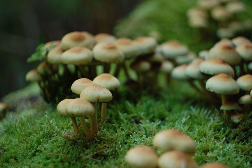 Beauty In Nature Close-up Day Depth Of Field Dof Dof Nature Focus On Foreground Forest Fragility Freshness Fungus Green Color Growing Growth Medium Group Of Objects Mushroom Nature No People Selective Focus Springtime Surface Level Toadstool Tranquility Vegetable Wilderness
