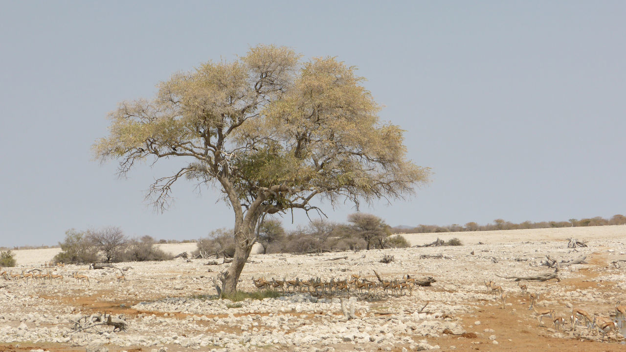 Acacia tree in Etosha National Park, Namibia Acacia Acacia Tree Arid Landscape Beauty In Nature Clear Sky Day Field Green Color Growth Nature No People Non-urban Scene Outdoors Remote Scenics Tranquil Scene Tranquility