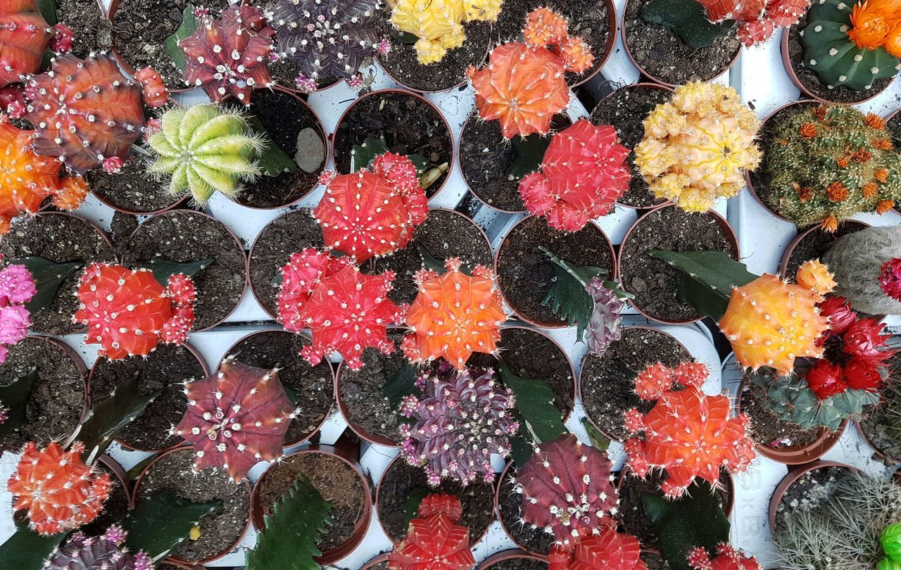 Backgrounds Multi Colored Flower Nature Little Cactus Orderly Arranged Order Background Cover Flower Shop Plants Collection Cactuscollection Cactusporn Cactus Collection Cactus Flower Large Group Of Objects Cactus Plant