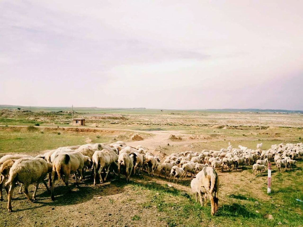 animal themes, domestic animals, livestock, mammal, grass, large group of animals, sky, landscape, nature, no people, grazing, outdoors, field, cloud - sky, sheep, beauty in nature, day, scenics, tranquility, flock of sheep, rural scene