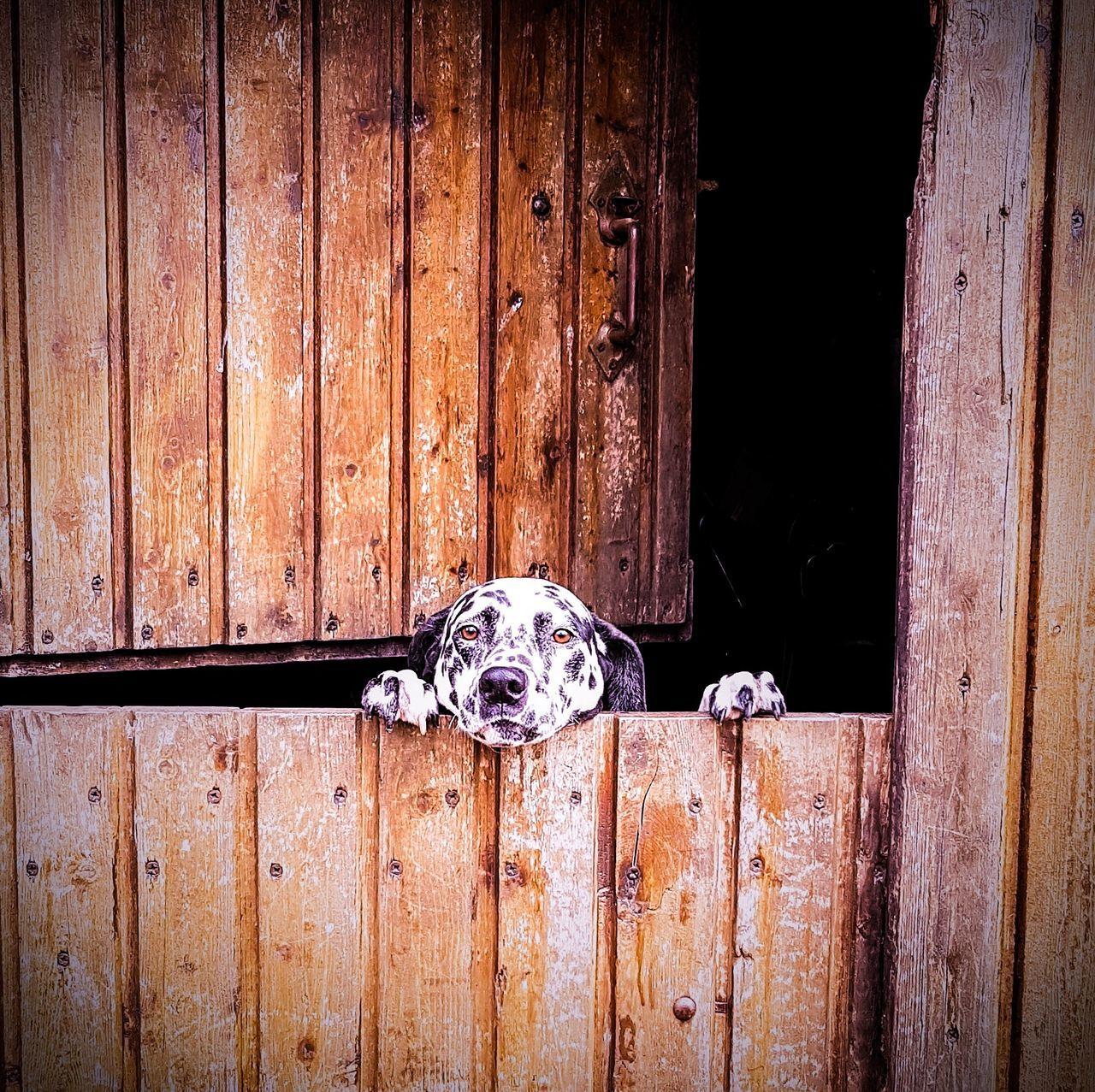 Dalmatiner  Dalmatiansofinstagram Hund Dogs Of EyeEm Dog Love Dogsofinstagram Hundefotografie Hundeportrait Hundeblick EyeEmNewHere