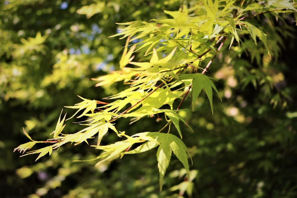 Springtime Maple Leaves Beauty In Nature Close-up Day Freshness Green Color Growth Hiroshima,japan Japanese Garden Japanese Maple Leaf Leaves Light Light On Leaves Maple Maple Leaves Maple Tree Nature New Leaves No People Outdoors Plant Spring Has Arrived Spring Leaves Sunlight Young Leaves