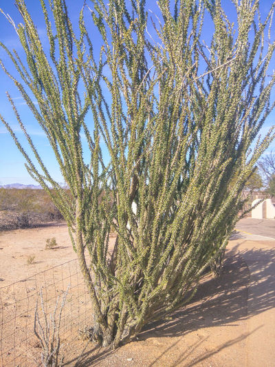 Ocotillo (Fouquieria splendens) is a plant indigenous to the Sonoran Desert and Chihuahuan Desert in the Southwestern United States and northern Mexico. Arid Cactus Desert Fouquieria Splendens Green Growth Nature Ocotillo Outdoors Plant Sunlight Tree