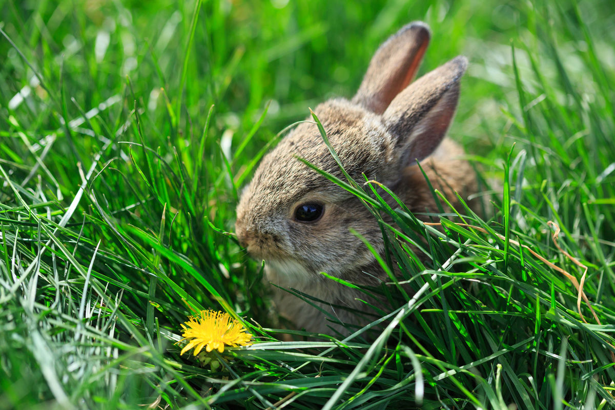Baby cottontail Grass Animal Nature Animal Wildlife Animals In The Wild Animal Themes Baby Animals Animals In The Wild Baby Rabbit Baby Bunny Cottontail One Animal Flower Dandelion Dandelion In Spring Bunny Love Cute Animals Paint The Town Yellow