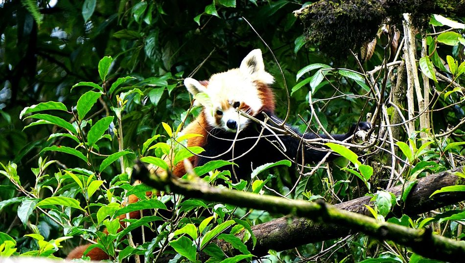 HIMALAYAN RED PANDA Animals In The WildOne AnimalAnimal Themes One Animal Animal Wildlife Outdoors The Week On EyeEm 47 Wildlife Photography Wildlifephotography Wildlife Travel India India. Sony A6000 SonyAlpha6000 The Week On Eyem Himalayas, India Nature Animal Themes Animals In The Wild Mammal Animal Wildlife Leaf Nature No People