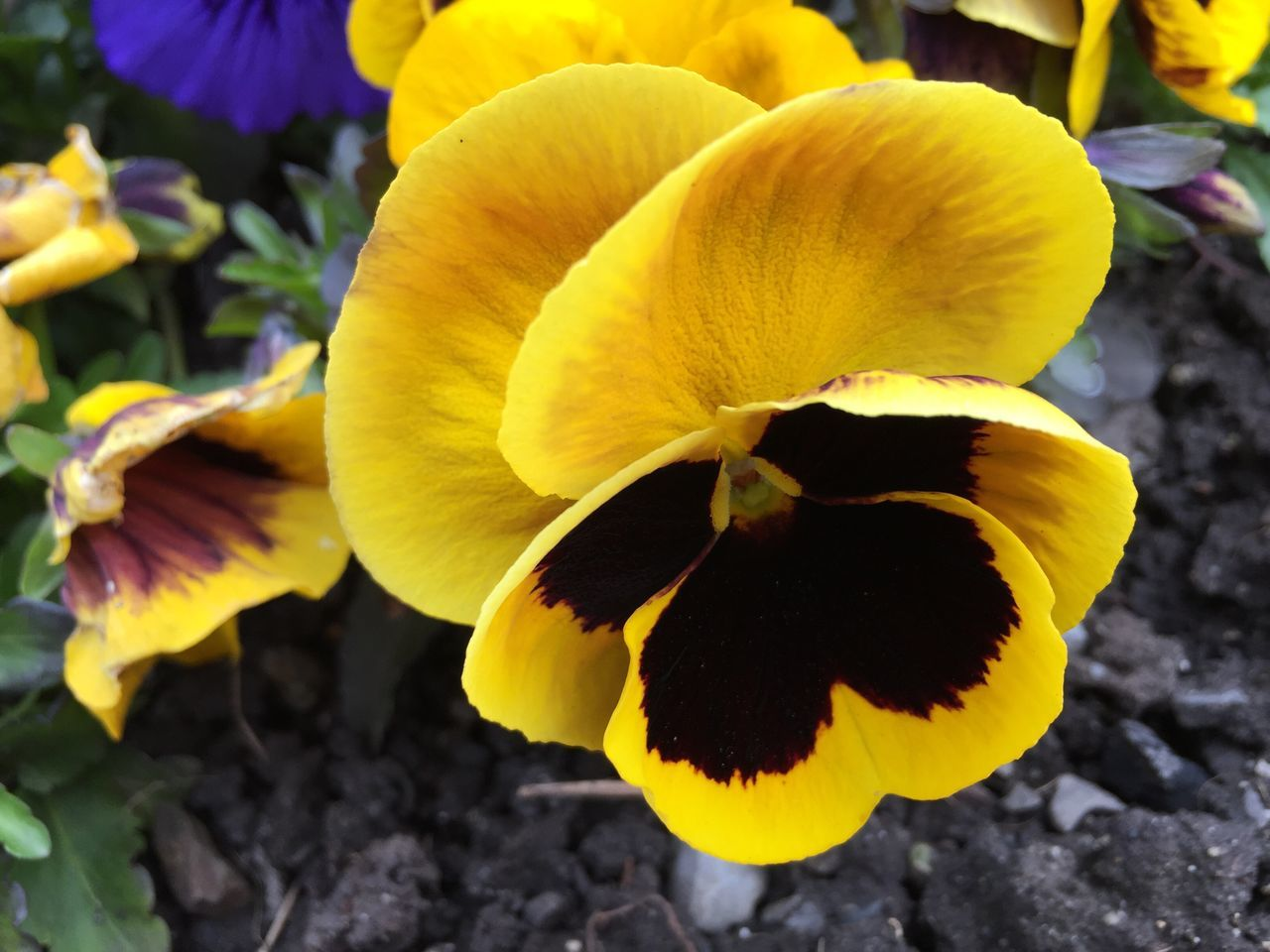 Flower Yellow Petal Fragility Beauty In Nature Nature Close-up Blooming Flower Head Growth Plant Freshness No People Outdoors Day Primrose Blossom