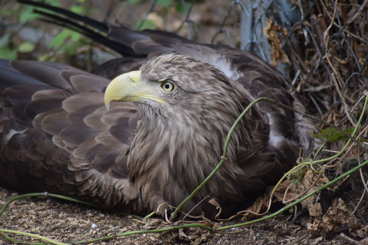 animal themes, bird, one animal, animals in the wild, animal wildlife, day, outdoors, beak, no people, close-up, nature, bird of prey