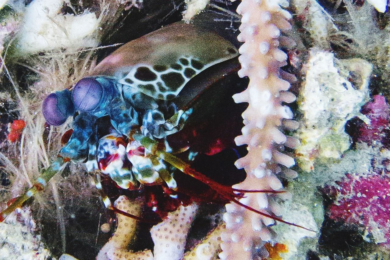 My friend the Mantis Shrimp Just Hanging Out in Bunaken / Lembeh on s Scuba Diving trip. Oh to be Underwater