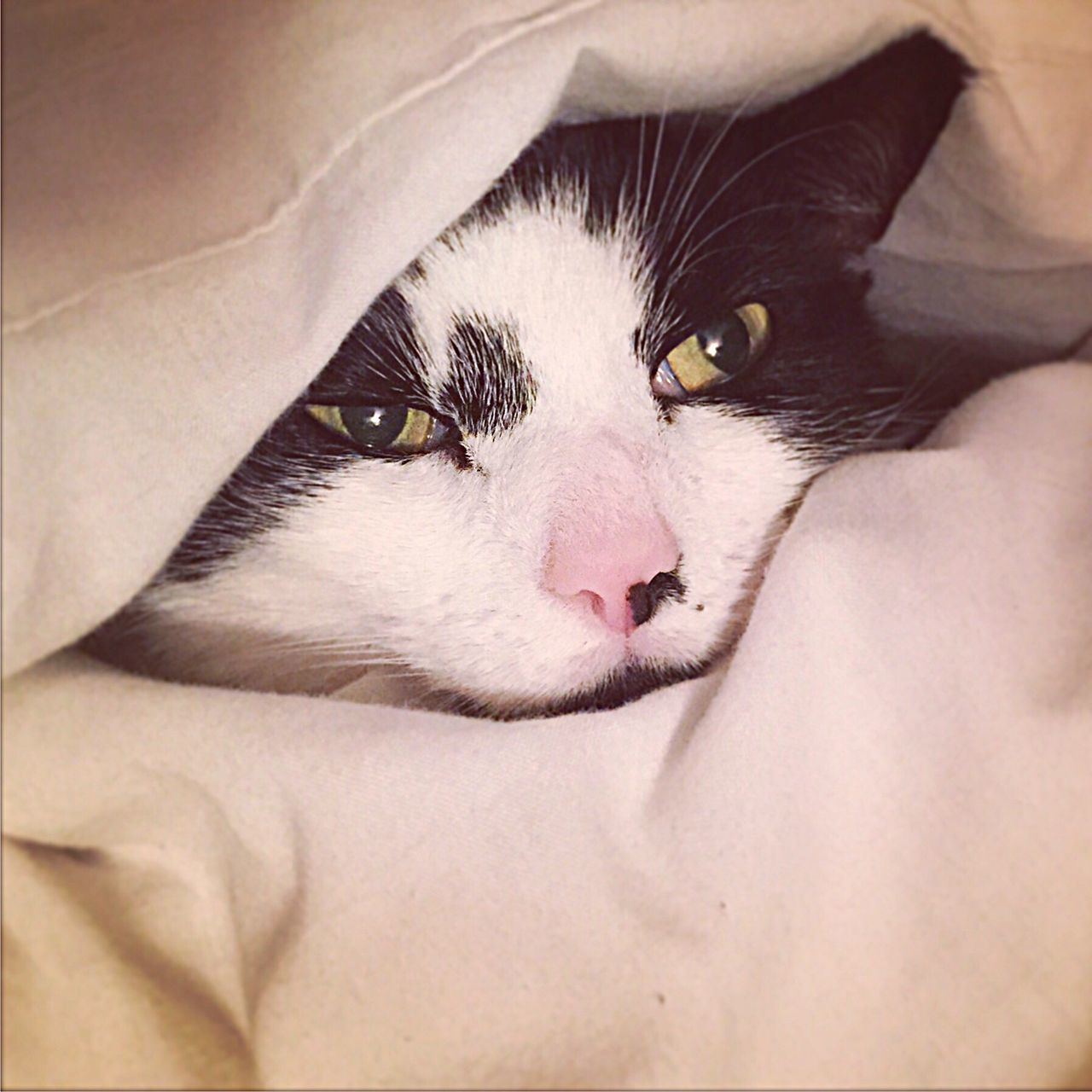 Domestic Animals Domestic Cat Pets Mammal Close-up Indoors  Lying Down Real People Animal Themes Feline Cat Nose Eye Pink Nose Cat Eyes Face Cat Face Buried Hiding Cats Of EyeEm Cateyes Feline Eyes Hide And Seek Hide Day