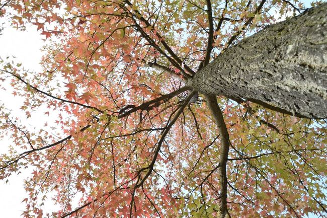 Autumn colors II Dramatic Angles Tree Low Angle View Branch Beauty In Nature Tree Trunk Tranquility Majestic High Section Autumn Autumn Colors Autumn Leaves From My Point Of View Directly Below in Junkersdorf Köln Germany