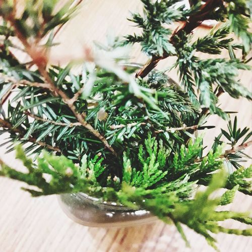сосна ялина НовийРік New Year Growth Plant Nature No People Day Tree Close-up Beauty In Nature Indoors  first eyeem photo
