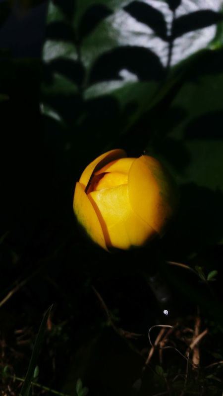 Fleur Flowers Jaune🌻 Jaune Nenuphar