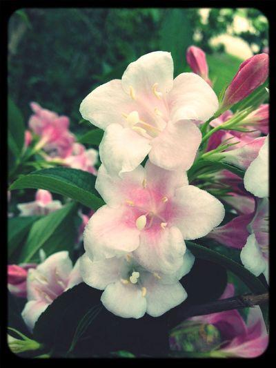 Vegelia Spring Flowers Pink Flower