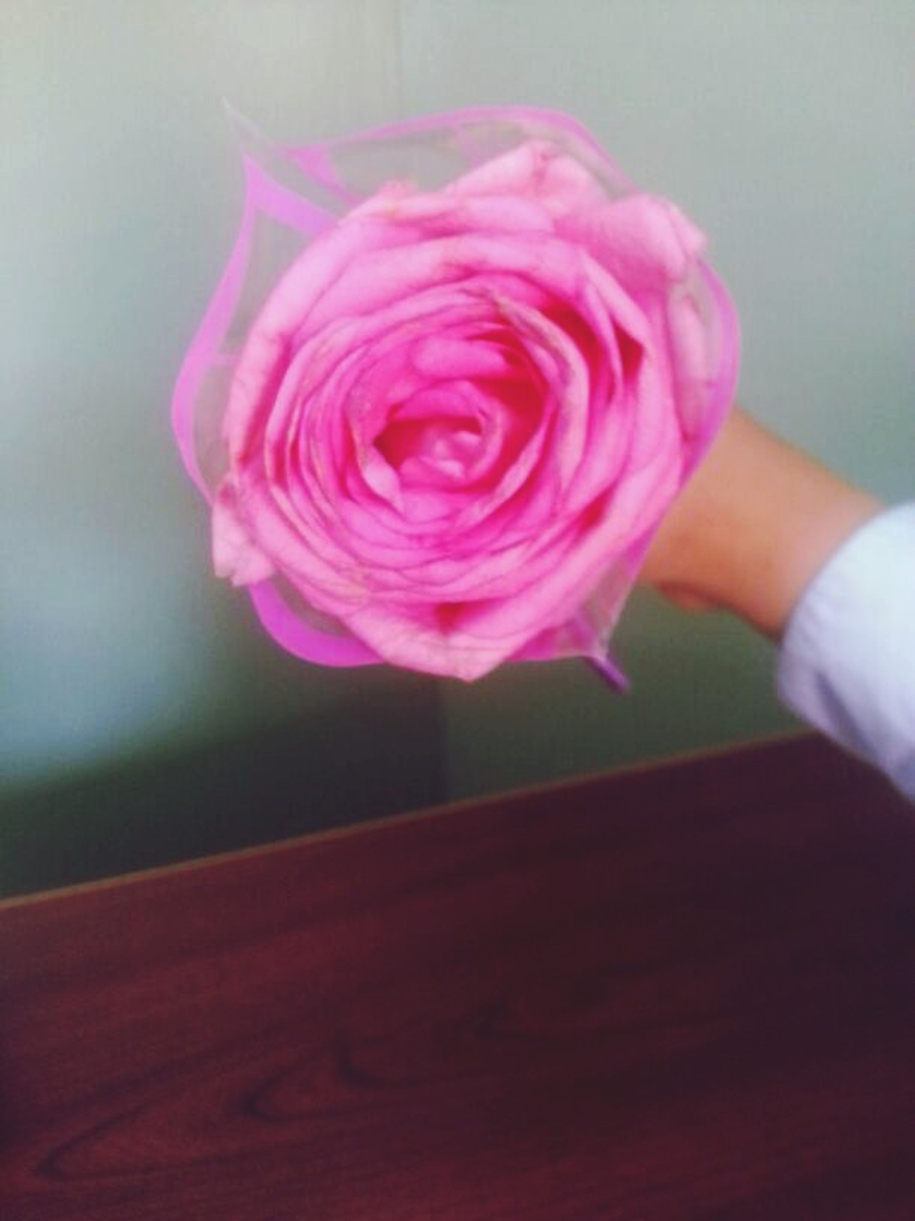 flower, pink color, indoors, petal, fragility, close-up, focus on foreground, rose - flower, flower head, person, freshness, pink, part of, holding, single flower, selective focus, purple