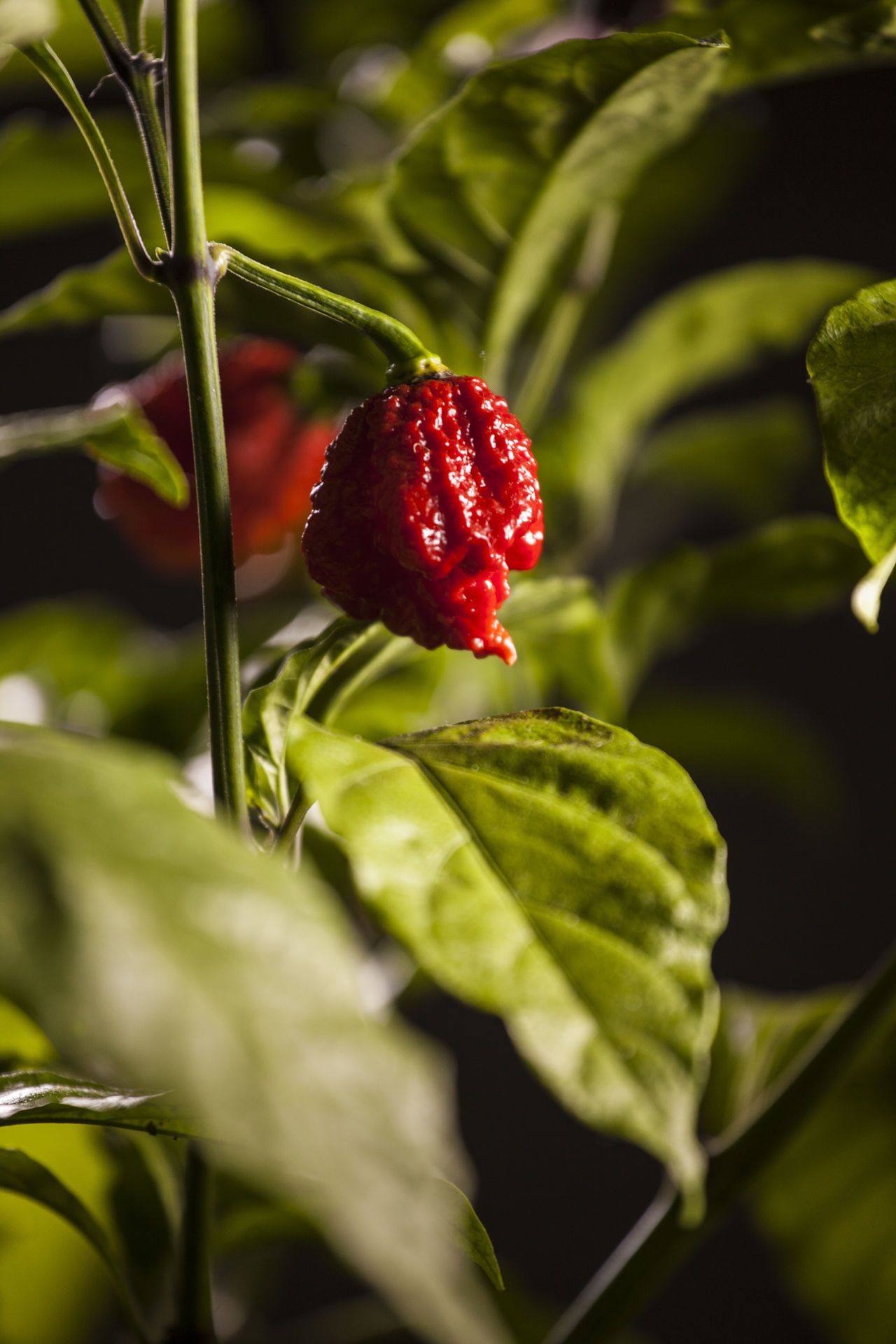 Agriculture Close-up Day Food Food And Drink Freshness Fruit Green Color Growth Healthy Eating Hot Hot Peppers Hot Peppers Plants Leaf Nature No People Outdoors Plant Red Very Hot And Spicy Food