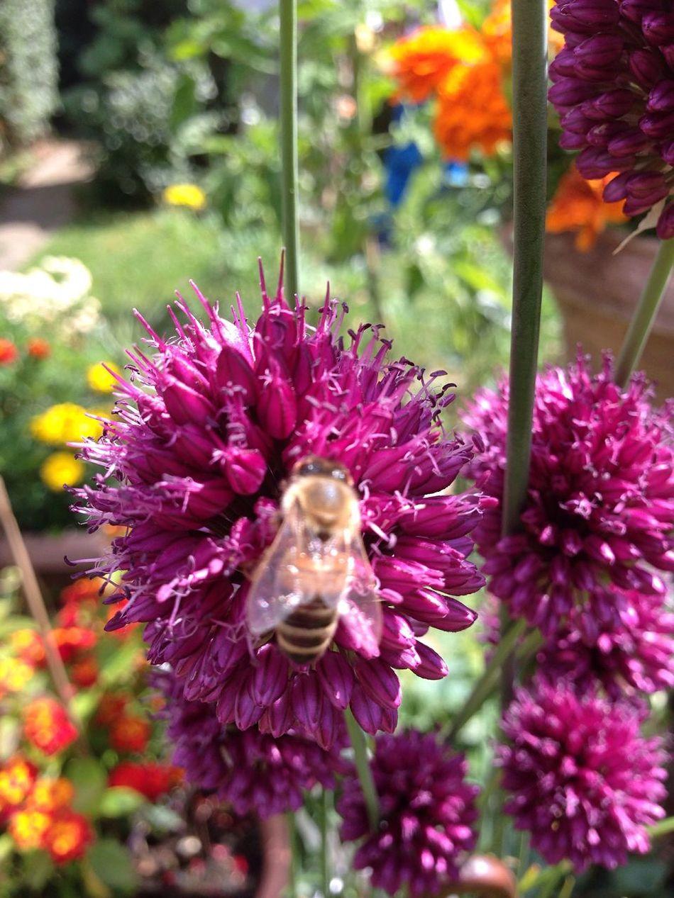 Bees And Flowers Bees Bienen  Bee Biene Bienen Bei Der Arbeit Wildbee Wildbiene Wildbienen Lauch Kugellauch Zierlauch Garden Photography Garden Allium Flower Allium Sphaerocephalon Garten Pflanze Natur