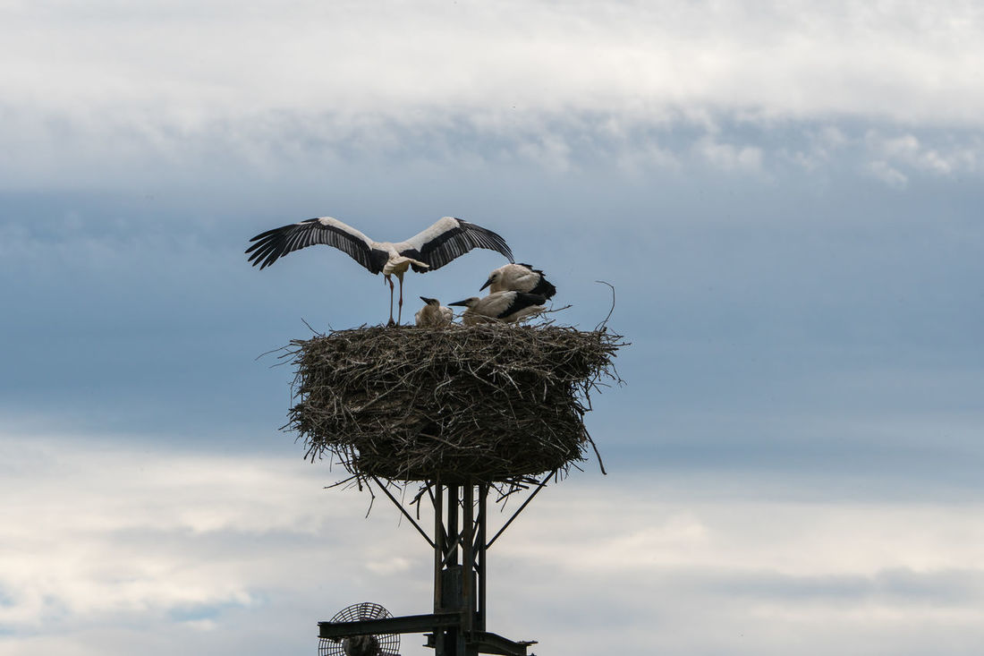 Animals In The Wild Bird Nature Outdoors Sky And Clouds Spread Wings Stork Stork's Nest White Stork