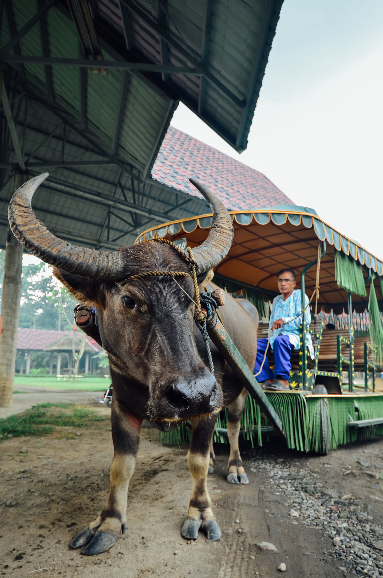 Animal Animal Themes Buffalo Buffalo Pulled Cart Cart Racing Countryside Cow Culture Domestic Animals Innocent Little Village Livestock Mammal Nature Old Man One Animal One Person Philippines Rural The Philippines Traditional Transportation Transportation Travel Village Life Villager
