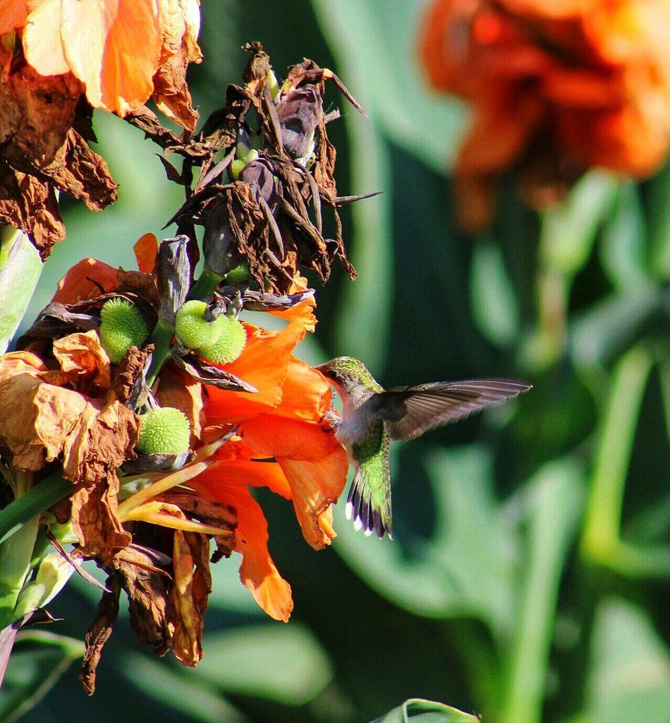 Beautiful stock photos of hummingbird, , Vertical Image, animal themes, animals in the wild