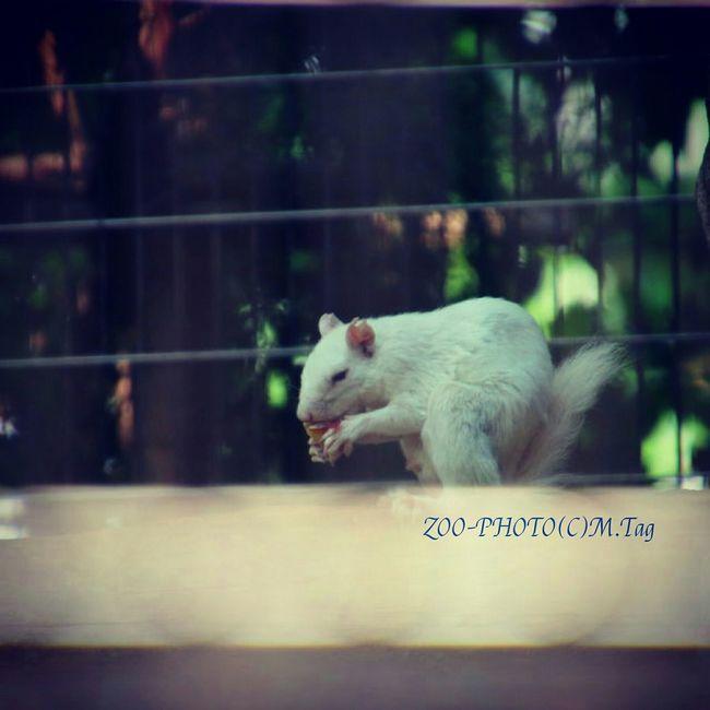 Animals ZOO-PHOTO Zoo 江戸川区自然動物園 ハイイロリス 白リス 二十日鼠 アルビノ