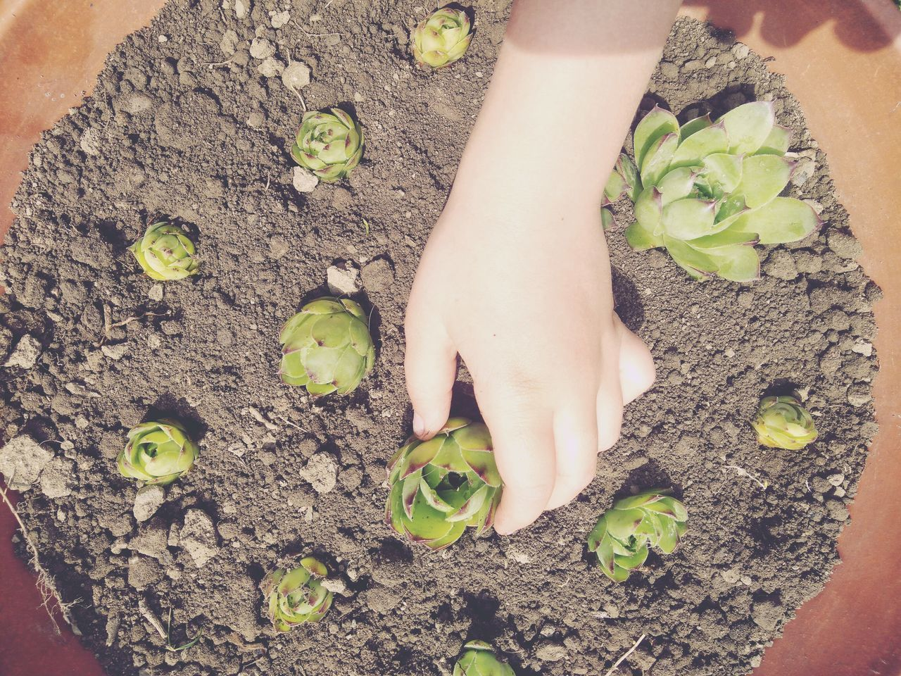 Replanting Succulent Houseleek Kids Hand Gardening Caring Fragility Growth Green Color Outdoors Beauty In Nature Flower Pot Teracotta Soil Kids Activities Cultivating Herbs Plants Layout Disposition Live For The Story