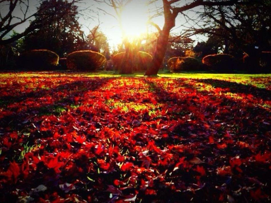 Sunset イロハモミジ おでかけ お散歩 小石川植物園