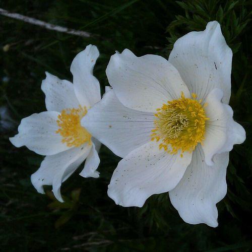 Alpenflora Nature_collection