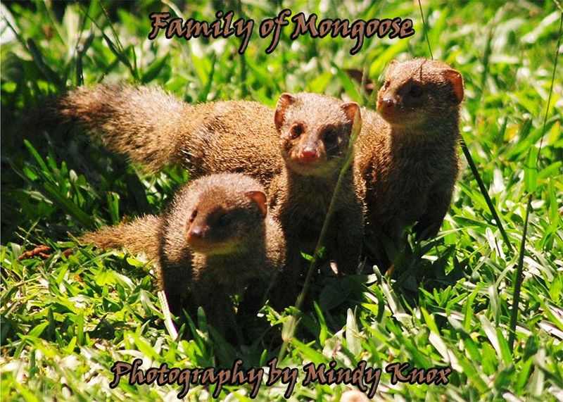 Mongoose Family Wildlife Hanging Out Cheese! Check This Out Enjoying Life Relaxing Hi! Beautiful Smile Thankful Animals Bigisland Bigislandhawaii Big Island Hawaii Puna Loveanimals❤️ Bekindtoanimals Be Kind To Yourself BeKindToOneAnother Livelovelaugh Peace ✌ Love