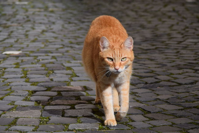 Animal Themes Cat Cats Day Domestic Animals Domestic Cat Feline Ginger Cat Horizontal Mammal No People One Animal Outdoors Pets Portrait Red Cat Romania Shadow Sibiu