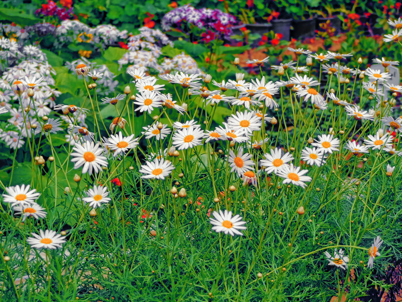 flower, growth, nature, petal, plant, beauty in nature, freshness, fragility, blooming, flower head, field, high angle view, outdoors, grass, green color, day, no people, park - man made space, springtime, close-up, zinnia