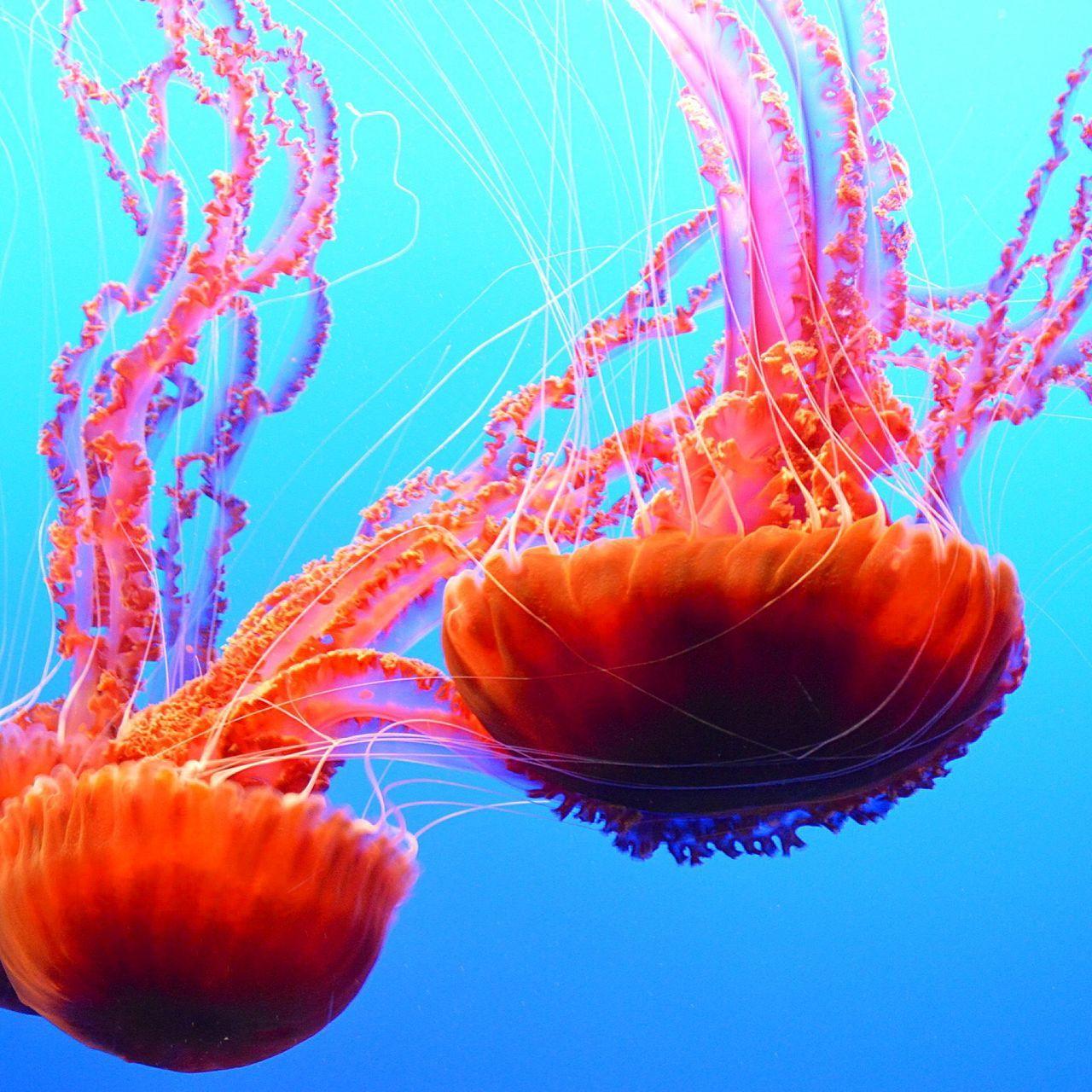 Close-Up Of Jellyfishes Swimming In Monterey Bay Aquarium