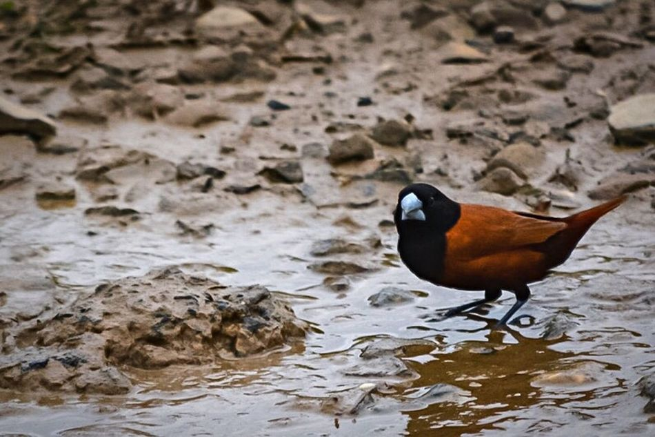 Bird Animal Themes Animals In The Wild One Animal Wildlife Water Beak Perching Nature Focus On Foreground Zoology Waterfront Day Outdoors Water Bird No People Tranquility Beauty In Nature Non-urban Scene Chestnut Munia
