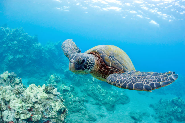 Animal Themes Animal Wildlife Beauty Beauty In Nature Day Full Length Nature One Animal People Reptile Sea Sea Life Sea Turtle Snorkeling Swimming Tropical Climate Turtle UnderSea Underwater Vacations