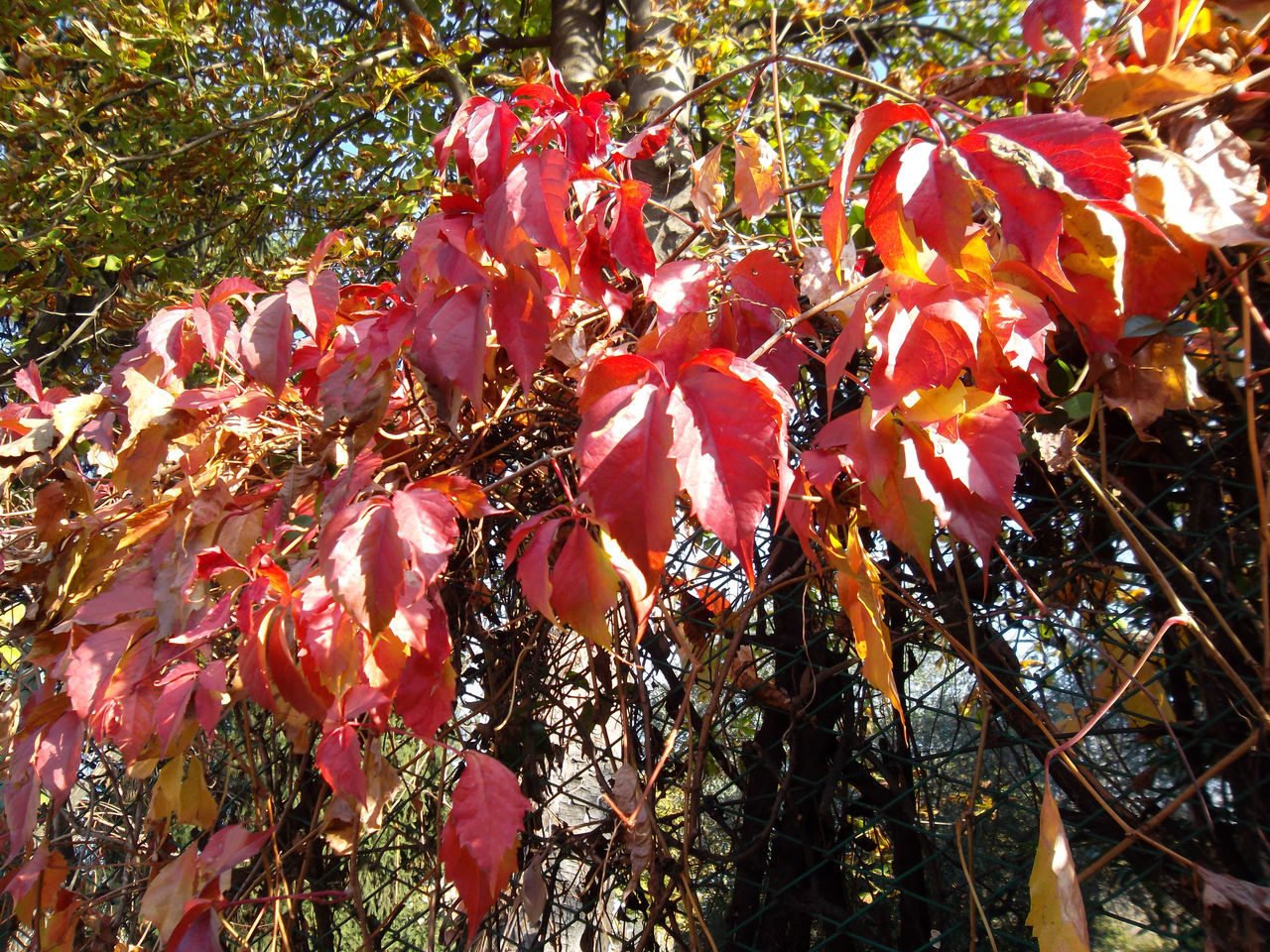 Autumn Autumn Colors Beauty In Nature Close-up Day EyeEm Nature Lover Foliage, Vegetation, Plants, Green, Leaves, Leafage, Undergrowth, Underbrush, Plant Life, Flora Fragility Freshness Growth Leaf Nature No People Outdoors Plants Red Leafs Sunlight Sunlight And Shadow Tree