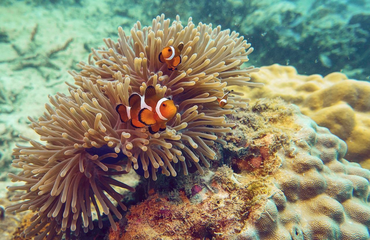 underwater, undersea, coral, clown fish, sea life, sea, water, nature, sea anemone, animals in the wild, animal themes, symbiotic relationship, animal wildlife, fish, no people, close-up, outdoors, mammal, day