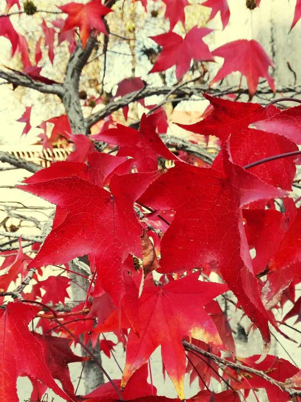 leaf, autumn, change, red, nature, maple leaf, beauty in nature, day, close-up, outdoors, maple, no people, growth, fragility, tree, branch