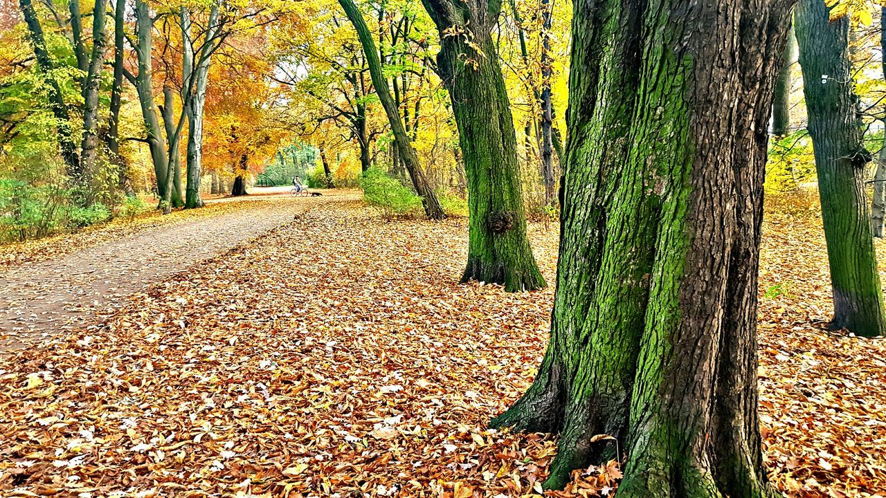 autumn, tree, change, leaf, nature, tree trunk, forest, scenics, beauty in nature, outdoors, day, green color, no people, growth, tranquil scene, tranquility