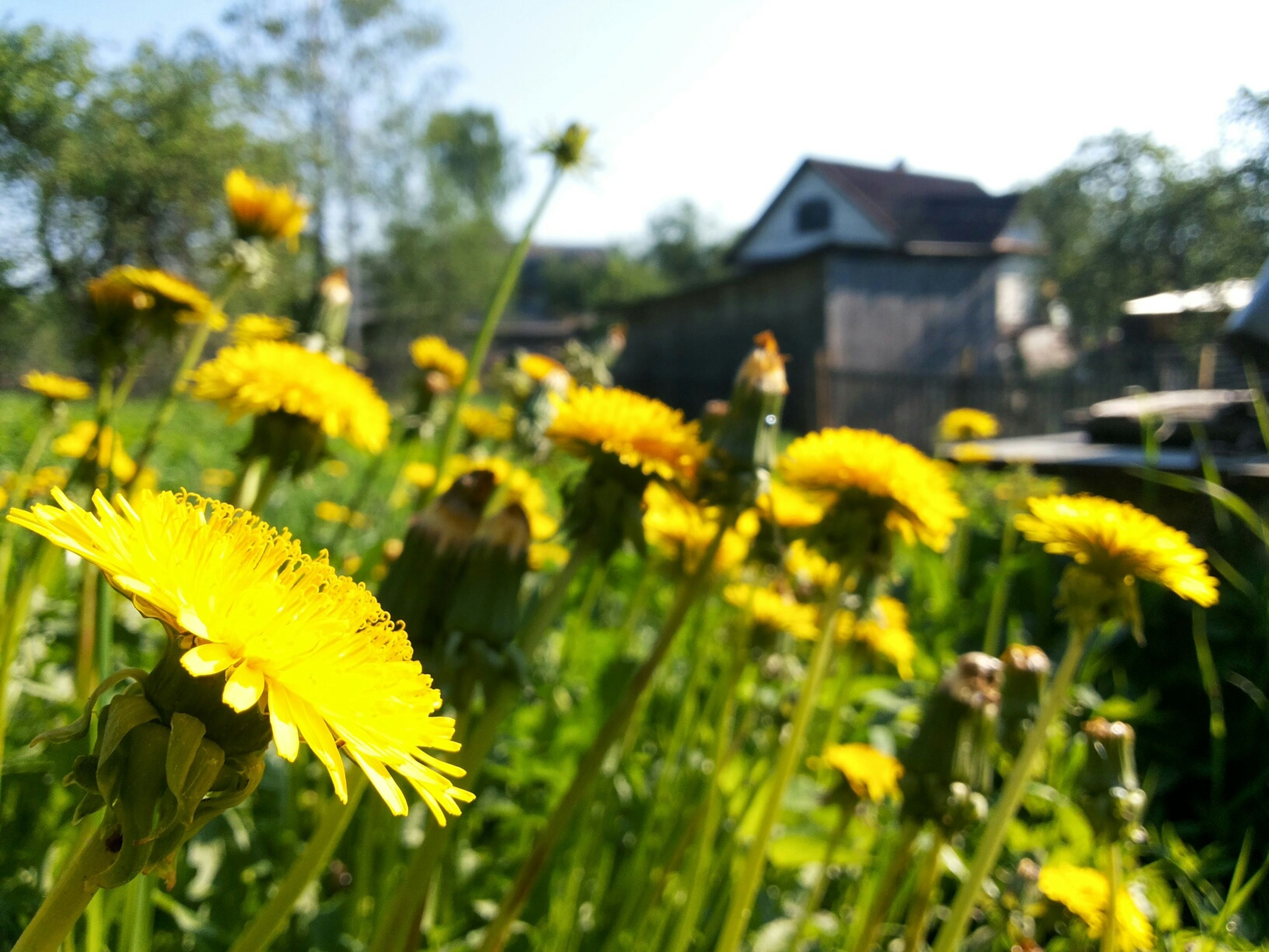 flower, yellow, focus on foreground, freshness, growth, fragility, close-up, beauty in nature, petal, field, nature, plant, selective focus, blooming, flower head, day, outdoors, building exterior, in bloom, stem