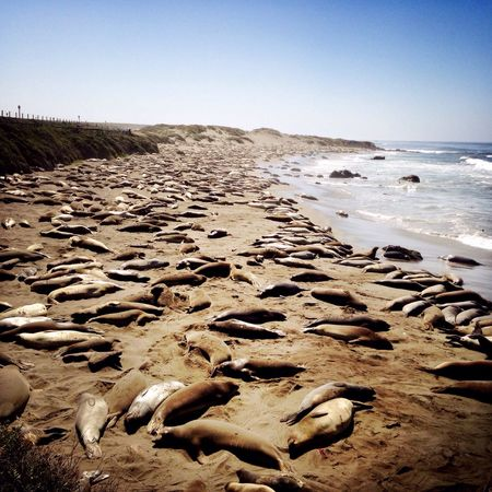 RePicture Travel California Life Is A Beach Nature California beaches are often crowded... 😉 From Above  Beach Sea Lions Animals Wildlife