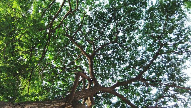 Trees Tree Upshot Tree And Sky Green Lookingup.