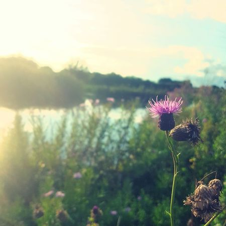 Flower Focus On Foreground Purple Thisle Water Nature Beauty In Nature Showcase: August Showcase August 2016 Flowerporn Scotland