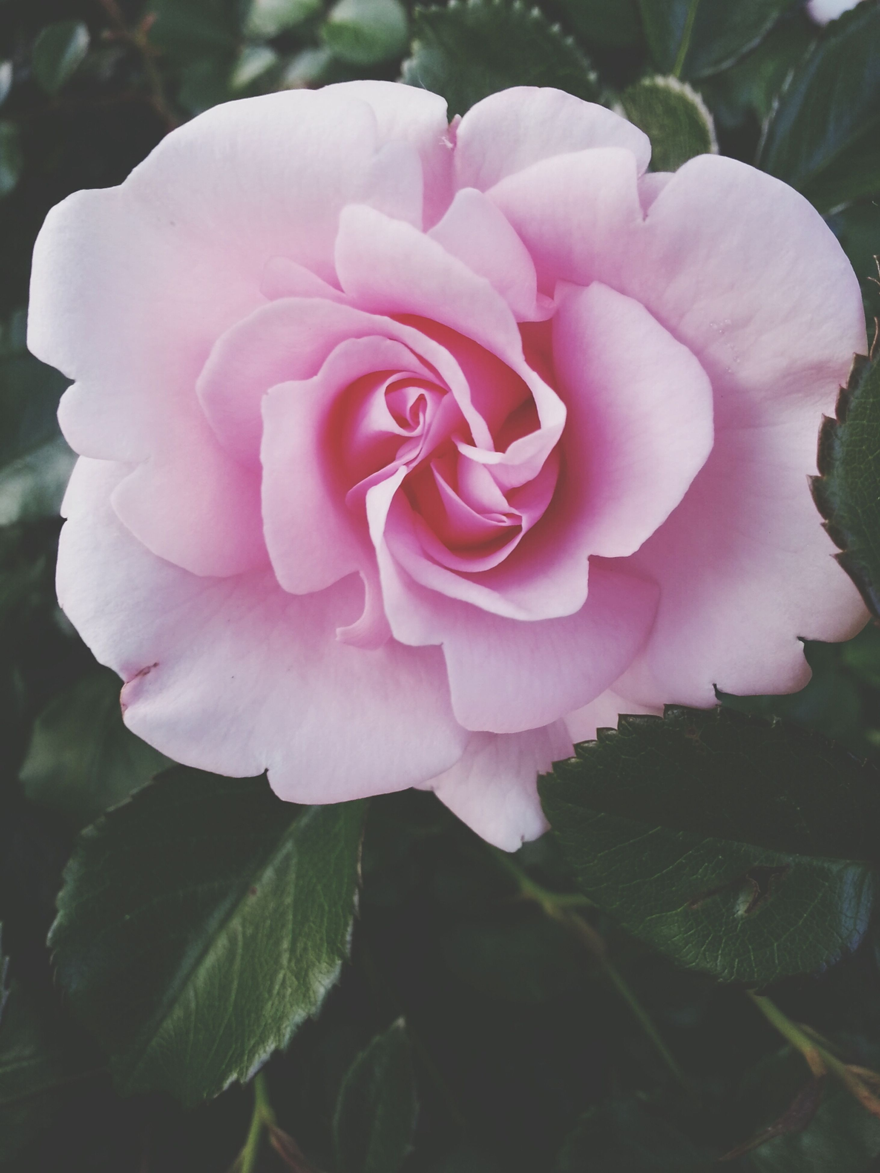 flower, petal, freshness, fragility, flower head, growth, pink color, beauty in nature, close-up, rose - flower, single flower, nature, blooming, plant, in bloom, focus on foreground, leaf, pink, blossom, day