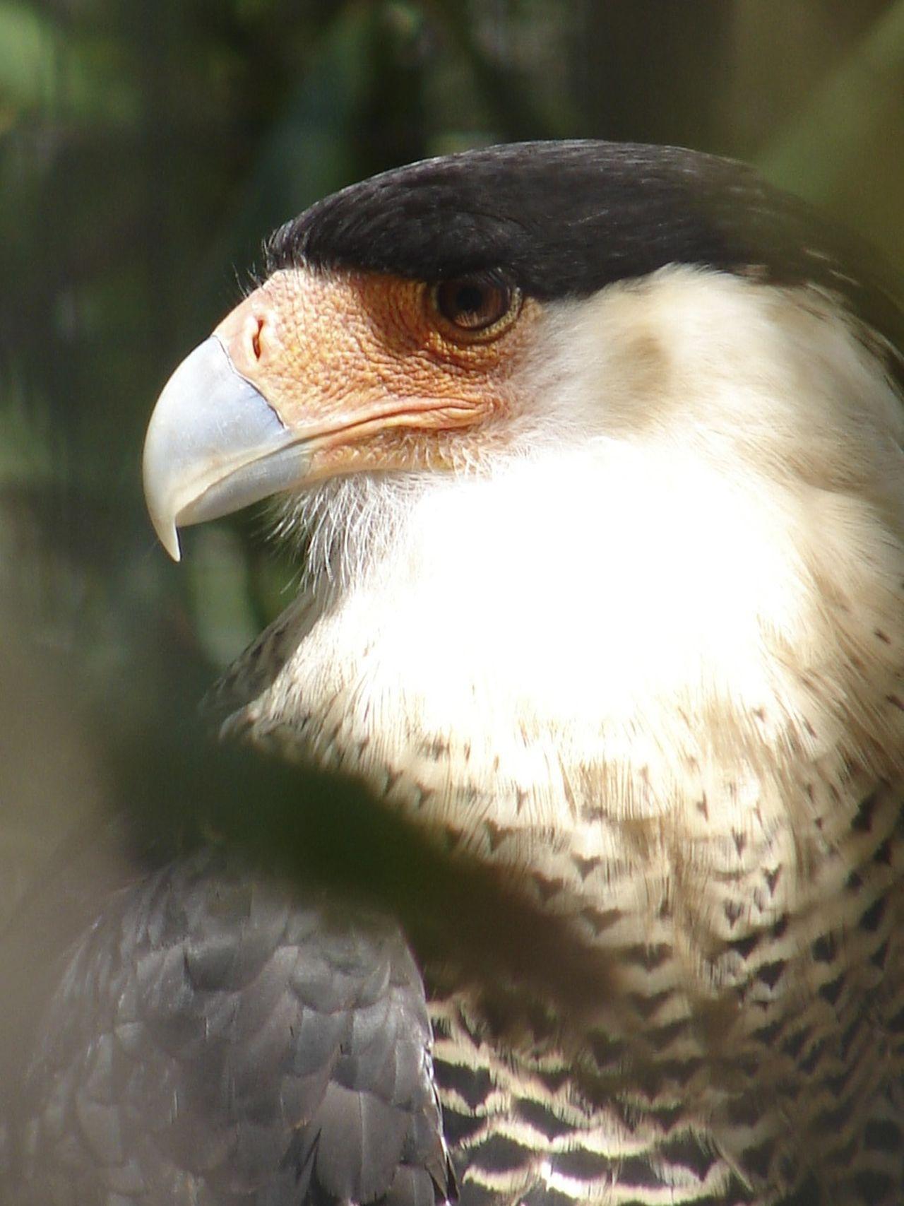 Alertness Beak Bird Bird In Captivity Cara Cara Focus On Foreground Nature Nature Photography One Animal Wild Wildlife Zoo