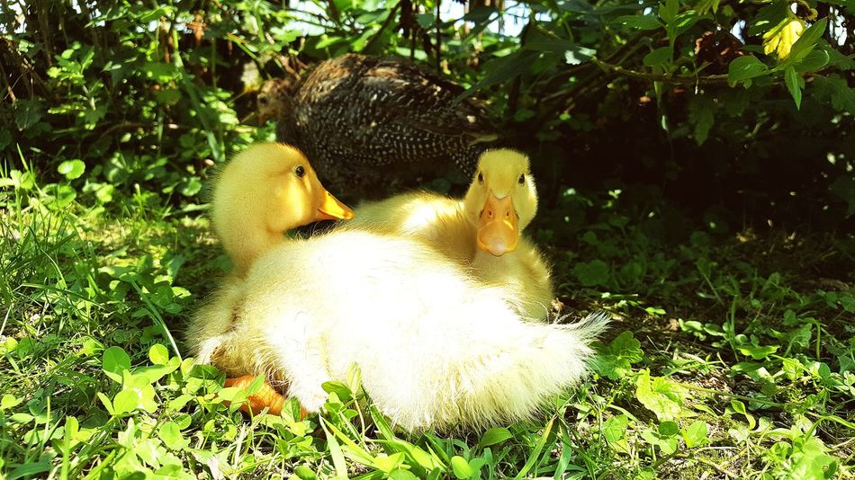 Animal Themes Green Color Nature Day Green Sunlight Outdoors Lush Foliage Beautiful ♥ Nature_collection Beauty In Nature Nature Samsungphotography Duck Ducklings Ducks