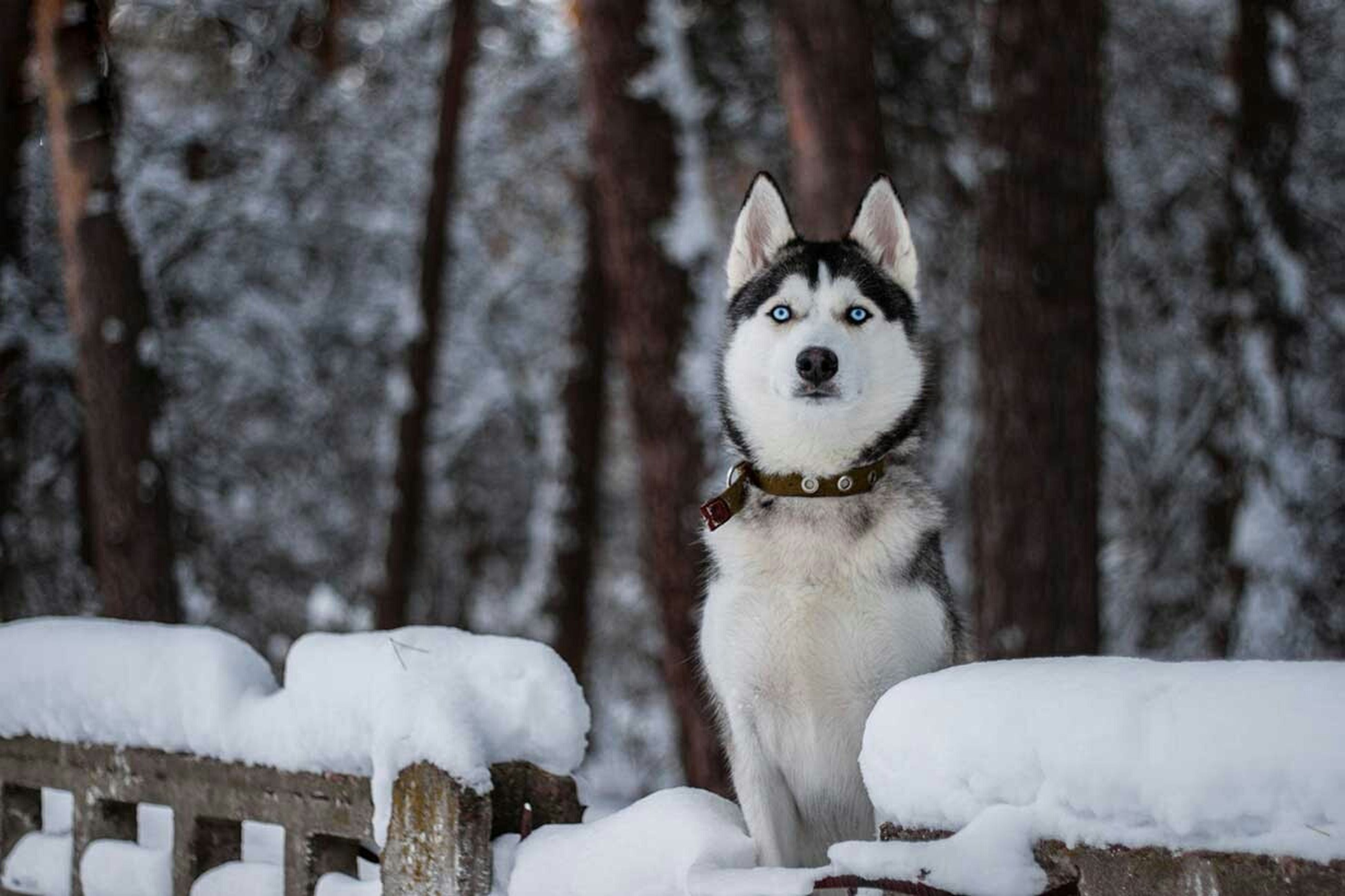 animal themes, snow, winter, cold temperature, one animal, white color, portrait, mammal, looking at camera, focus on foreground, tree, domestic animals, sitting, pets, tree trunk, front view, outdoors, season, white, day
