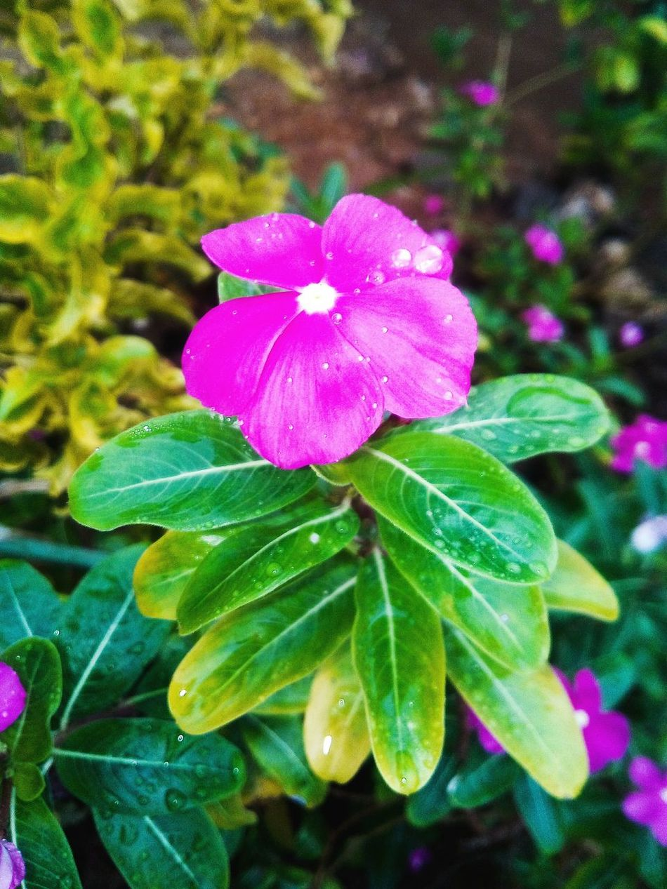 Alltime small pink flower around the neigbourhoods. Early morning shoot at Honiara, Solomon Islands Flower Freshness Close-up Flower Head Leaf Beauty In Nature Nature Pink Color
