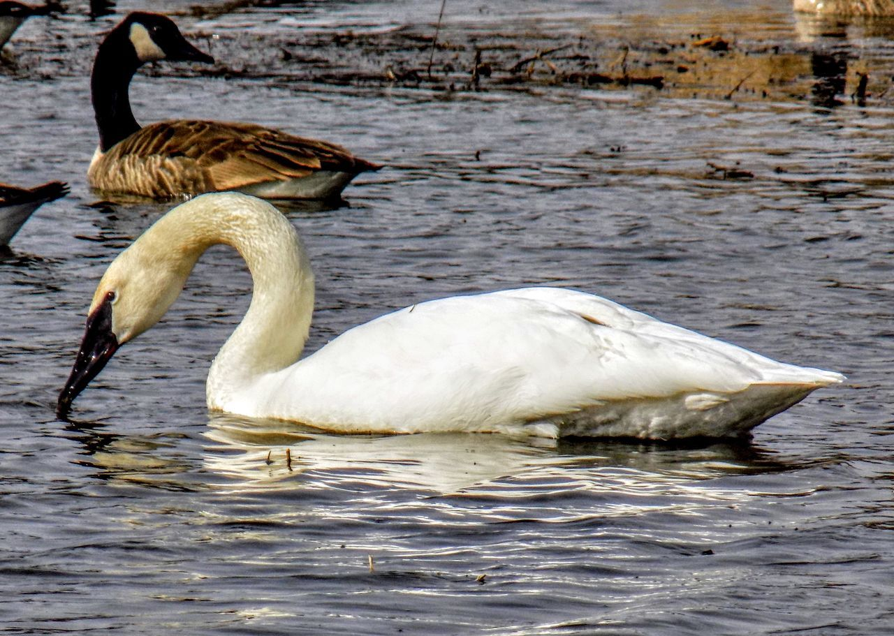 animals in the wild, animal themes, bird, lake, water, animal wildlife, waterfront, water bird, nature, swan, day, no people, swimming, outdoors, beauty in nature