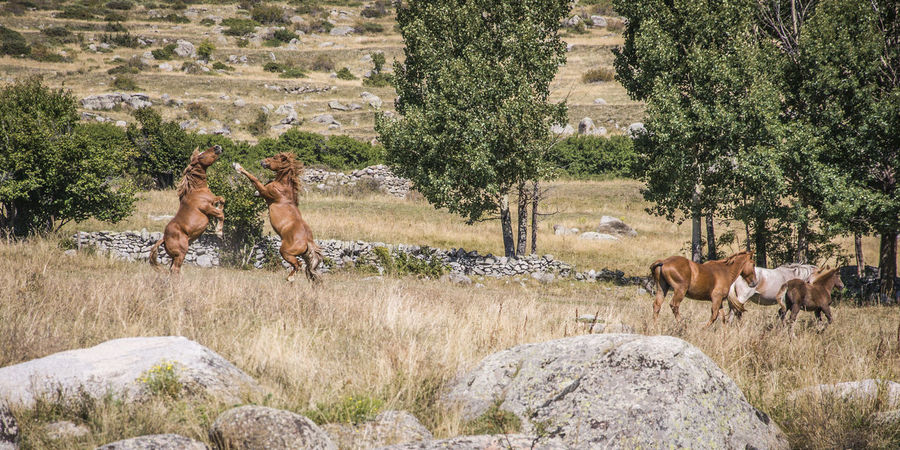 Wildlife horse fight for territory Brown Day Family Field Fight Fighting France Herd Targassonne Horses Landscape Mammal Mammals Nature Outdoors Power Rocks Standing Territorial Territory Togetherness Tree Trees Wildlife EyeEmNewHere