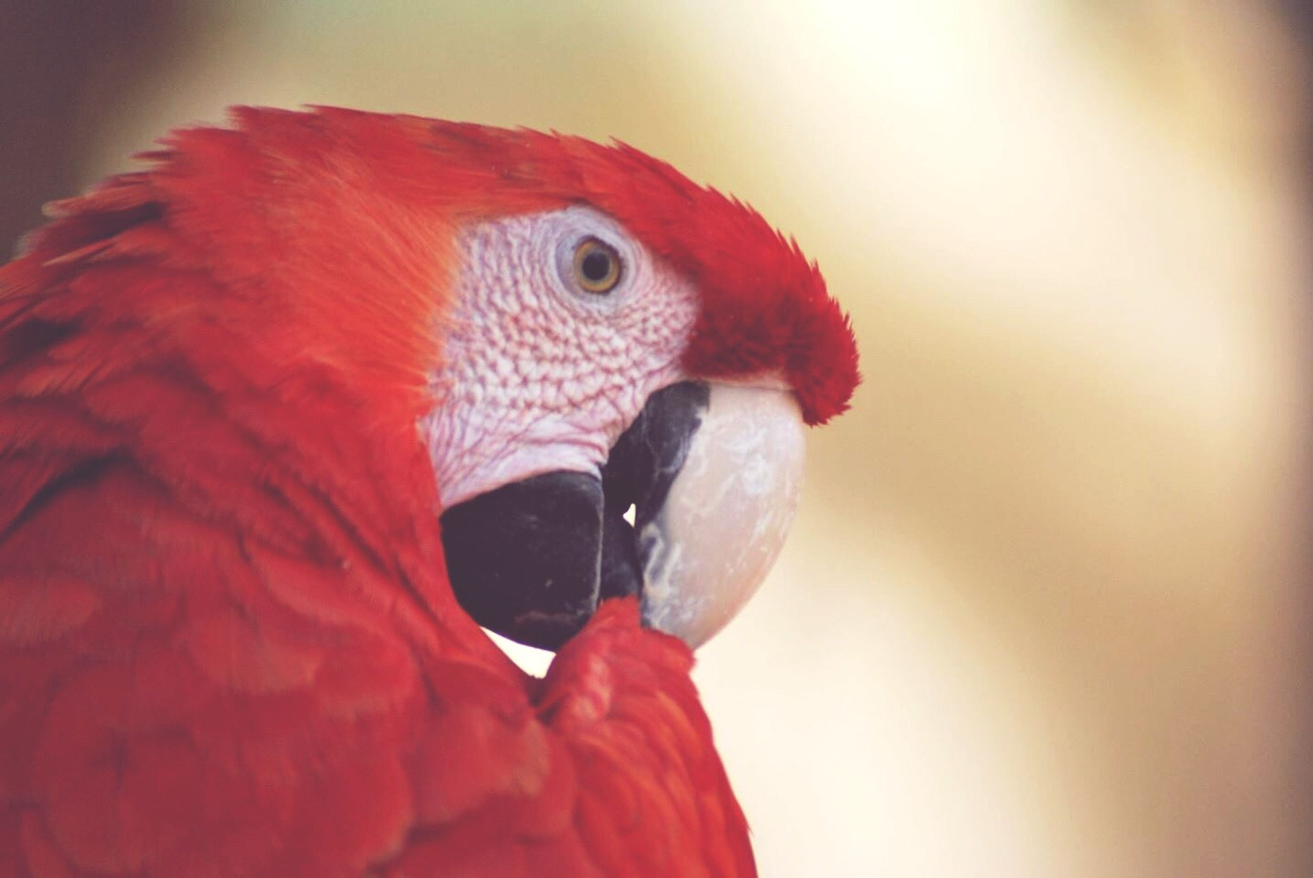 animal themes, one animal, bird, animals in the wild, wildlife, close-up, beak, parrot, red, animal head, focus on foreground, indoors, side view, multi colored, feather, fish, animal body part, nature, no people, zoology